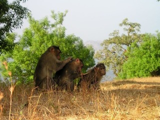 berber-monkeys-299_640.jpg