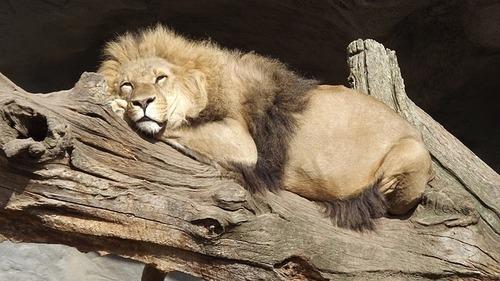 lion-829712_640.jpg